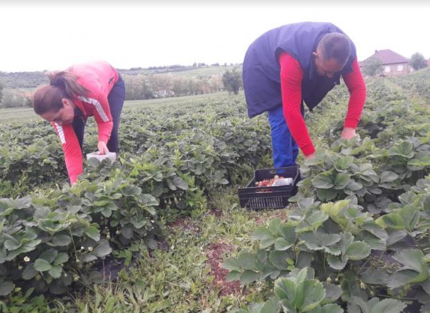 andrejevici-iz-gornje-gusterice-primer-uzgajanja-jagoda